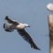 Dunbekmeeuw-Slender-billed-Gull14