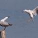 Dunbekmeeuw-Slender-billed-Gull15