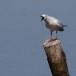 Dunbekmeeuw-Slender-billed-Gull17