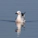 Dunbekmeeuw-Slender-billed-Gull20