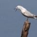 Dunbekmeeuw-Slender-billed-Gull21
