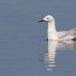 Dunbekmeeuw-Slender-billed-Gull25