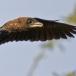 Dwergaalscholver – Pygmy Cormorant