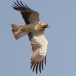 Dwergarend &#8211; Booted Eagle