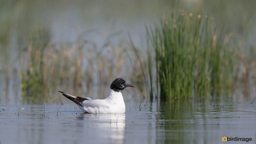 Dwergmeeuw - Little Gull 01