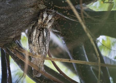 Dwergooruil - Eruopean Scops Owl 08