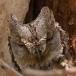 dwergooruil-_-scops-owl-04