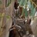 dwergooruil-_-scops-owl-05