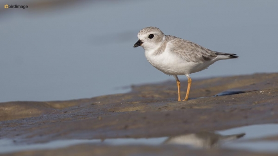 Dwergplevier - Piping plover 005