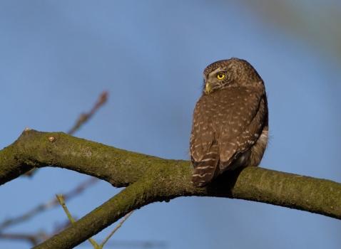 dwerguil-pygmy-owl-05