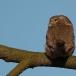 dwerguil-pygmy-owl-01