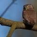 dwerguil-pygmy-owl-03
