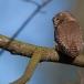 dwerguil-pygmy-owl-04