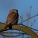 dwerguil-pygmy-owl-07