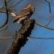 dwerguil-pygmy-owl-11