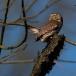 dwerguil-pygmy-owl-12