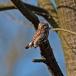 dwerguil-pygmy-owl-15