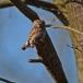 dwerguil-pygmy-owl-17