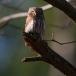 dwerguil-pygmy-owl-21
