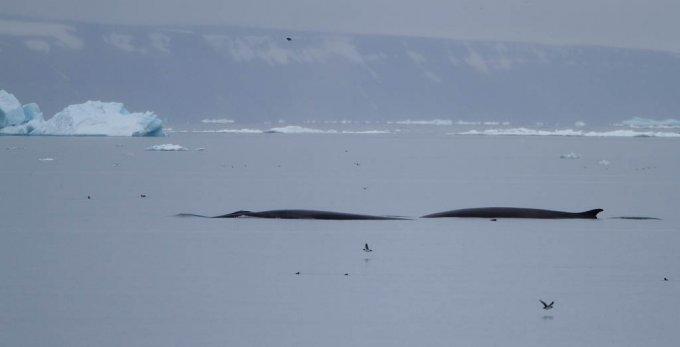 dwergvinvis-antartic-minke-wale-09