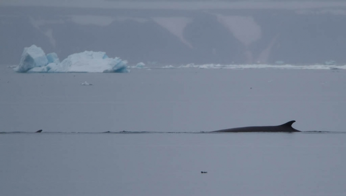 dwergvinvis-antartic-minke-wale-08