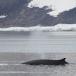 dwergvinvis-antartic-minke-wale-02