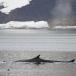 dwergvinvis-antartic-minke-wale-03