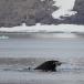 dwergvinvis-antartic-minke-wale-05