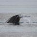 Dwergvinvis – Antartic Minke Wale