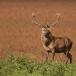 edelhert-red-deer-02