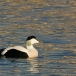 eider-common-eider-02