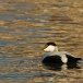 eider-common-eider-04