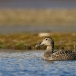 eider-common-eider-08