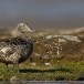 eider-common-eider-17