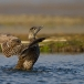 eider-common-eider-18
