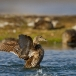 eider-common-eider-20