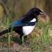 Ekster – Eurasian Magpie