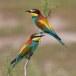 Europese Bijeneter - European Bee-eater 02