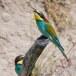 Europese Bijeneter - European Bee-eater 08