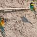 Europese Bijeneter - European Bee-eater 09