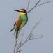 Europese-Bijeneter-European-Bee-eater-21