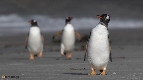 Ezelspinguin_Gentoo Penguin 02