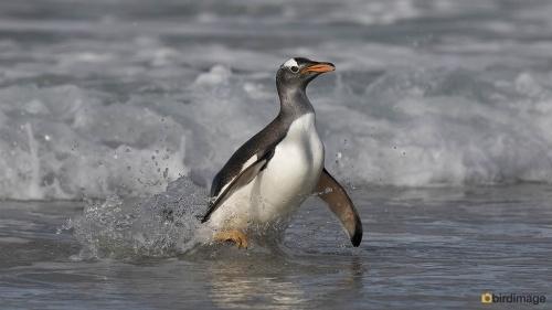 Ezelspinguin_Gentoo Penguin 06