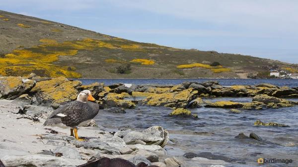 Falklandbooteend_Falkland Steamer Duck 001