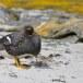 Falklandbooteend_Falkland Steamer Duck 003