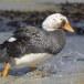 Falklandbooteend_Falkland Steamer Duck 004