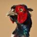 Fazant – Pheasant