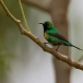 feeenhoningzuiger-beautiful-sunbird-01