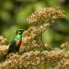 feeenhoningzuiger-beautiful-sunbird-02