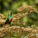 feeenhoningzuiger-beautiful-sunbird-03
